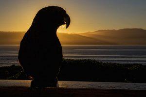 Kaka Vogel Natur