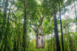 Naturkundliche Rundreise Kauri Baum