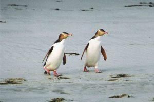 Pinguine Naturwunder in Neuseeland